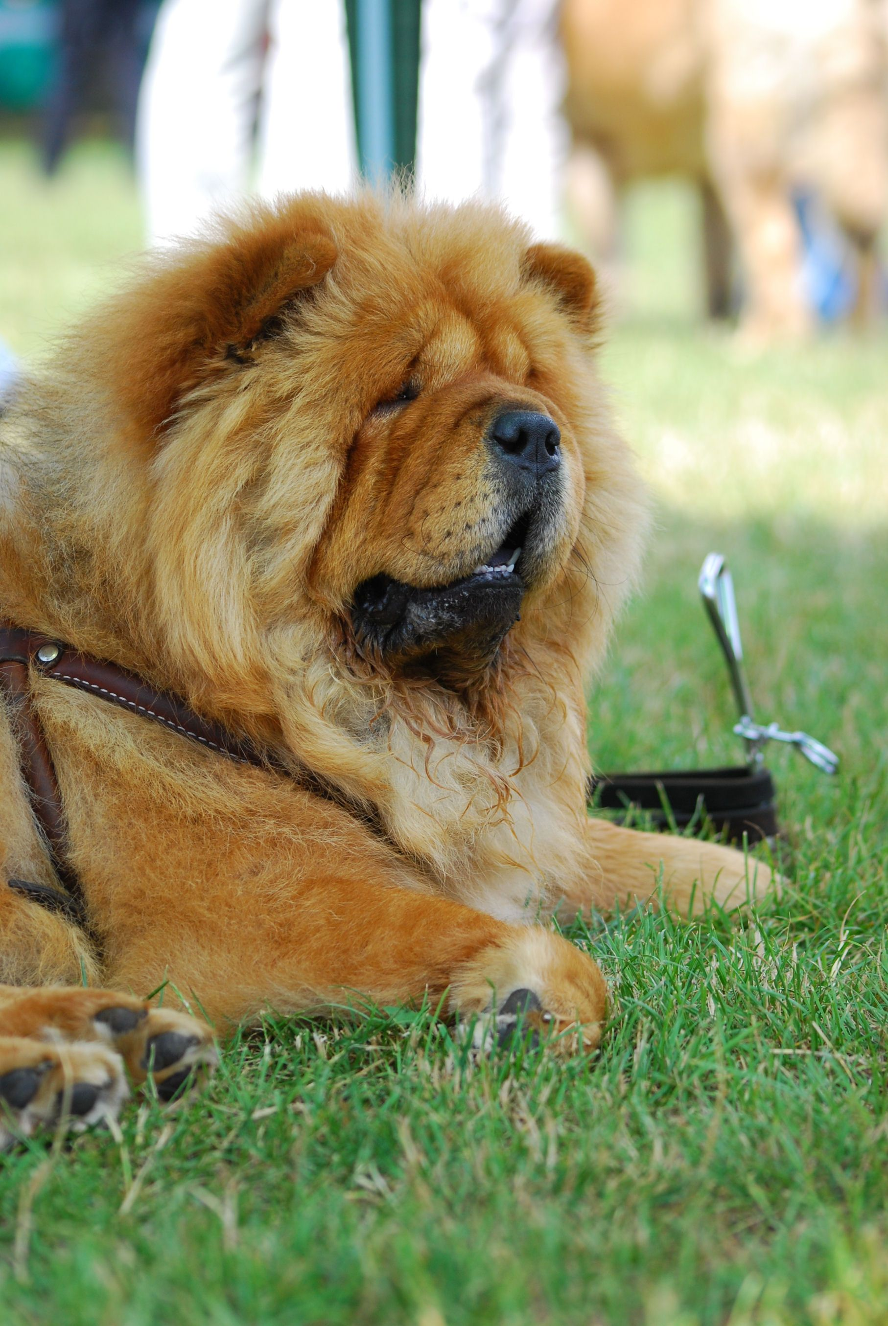 Chow Chow Chow Dog Breed Chow Chow Dogs Fluffy Dogs