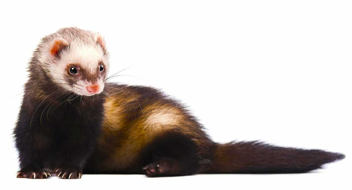 Your Pet Ferret Is Fun And Cute But What A Stink Is A Descented Ferret Something You Should Try To Achieve Ferret Cute Animals Pet Ferret
