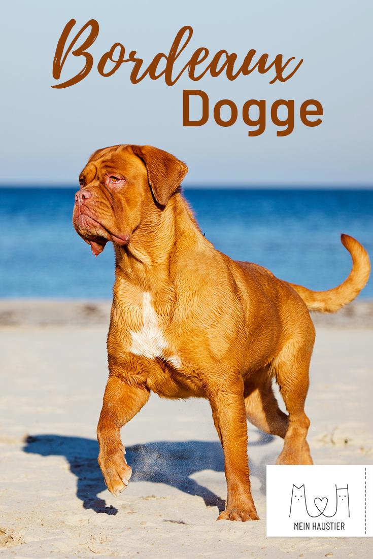 Aus Beliebter Diebordeaux Dient Doggeist Ein Frankreich Heute Molosser Die Bordeaux Dogge Ist Ein Beliebter Molosser In 2020 Bordeaux Dog Dog Breeds Big Dogs