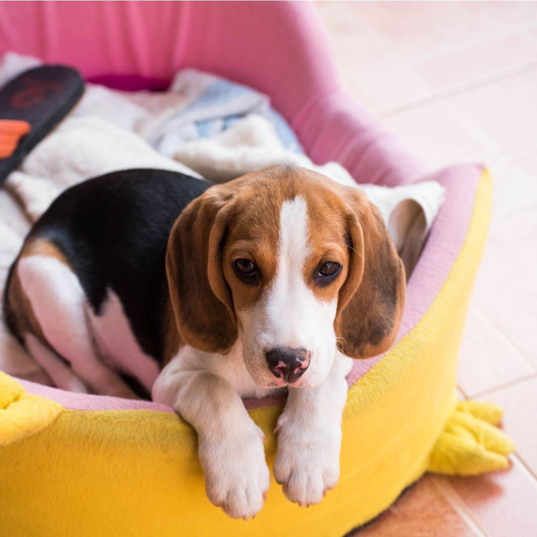 Pin On Beagle