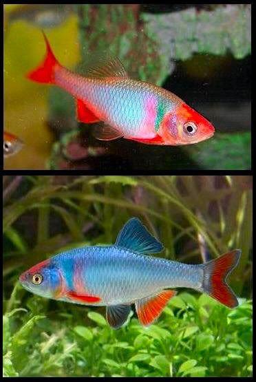Gymnogeophagus Aquarium Fish Fish Aquarium Decorations Tropical Fish Aquarium