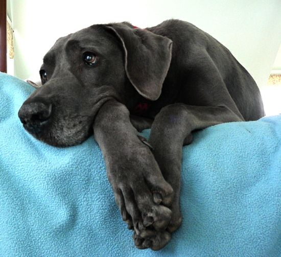 Adult Great Weimar Great Dane Weimaraner Cross What A Pretty