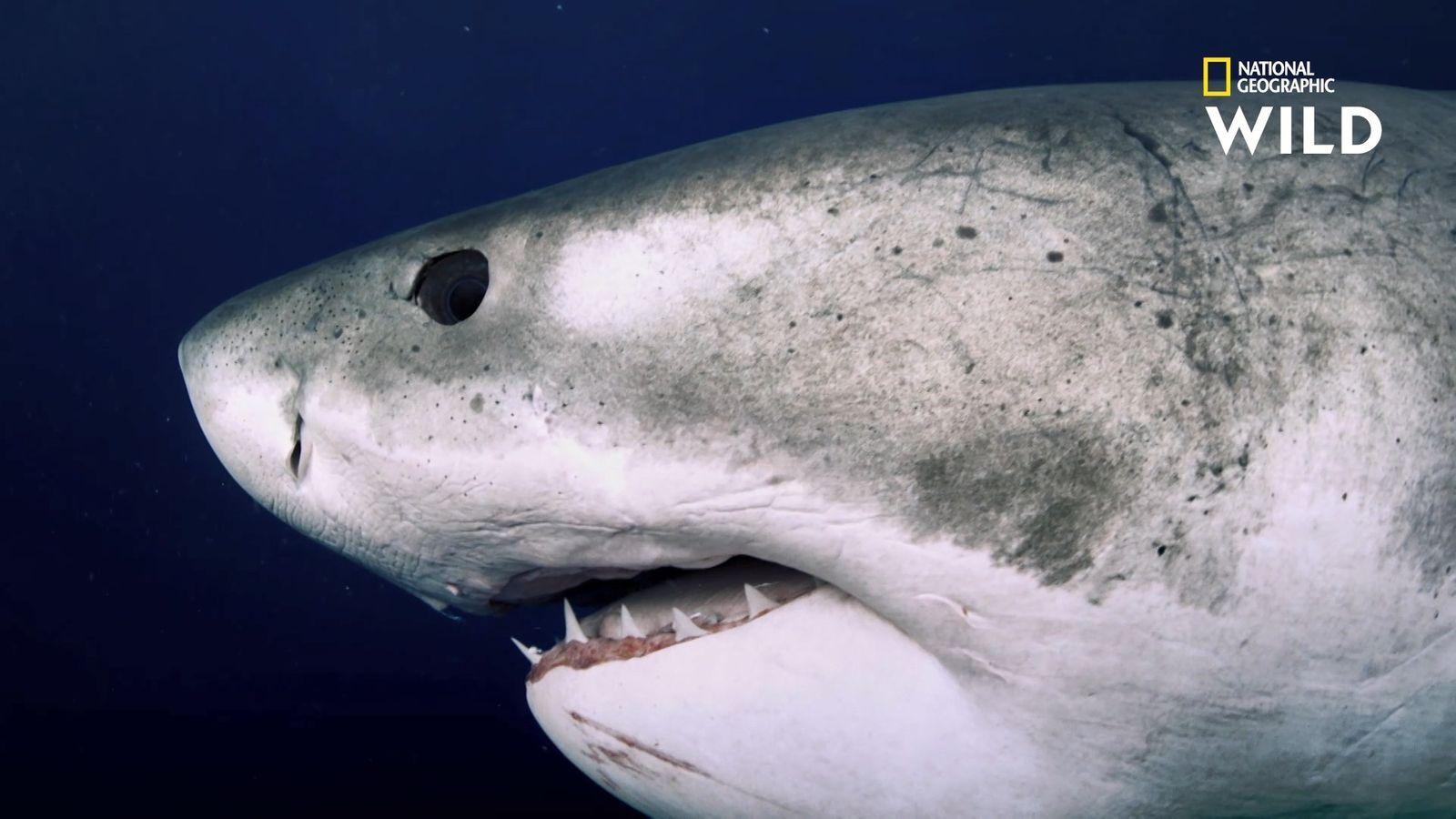 Deep Blue Le Plus Grand Requin Blanc Du Monde Enfin Retrouve En 2020 Grand Requin Blanc Requin Requin Blanc