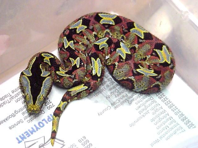 Small doses of the snake's hemotoxic venom can be deadly ...