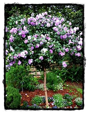 Purple Althea Tree See The Plant Information Index For More