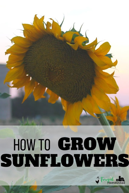 Learn How To Grow Sunflowers In Whatever Region You Live In And How To Be Successful With Sun In 2020 Growing Sunflowers Harvesting Sunflower Seeds Sunflower Seedlings