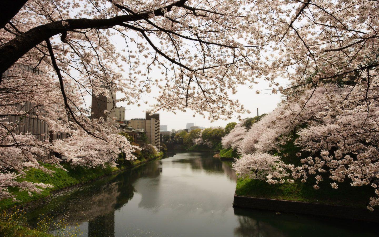 Paisaje Japonés De Cerezos