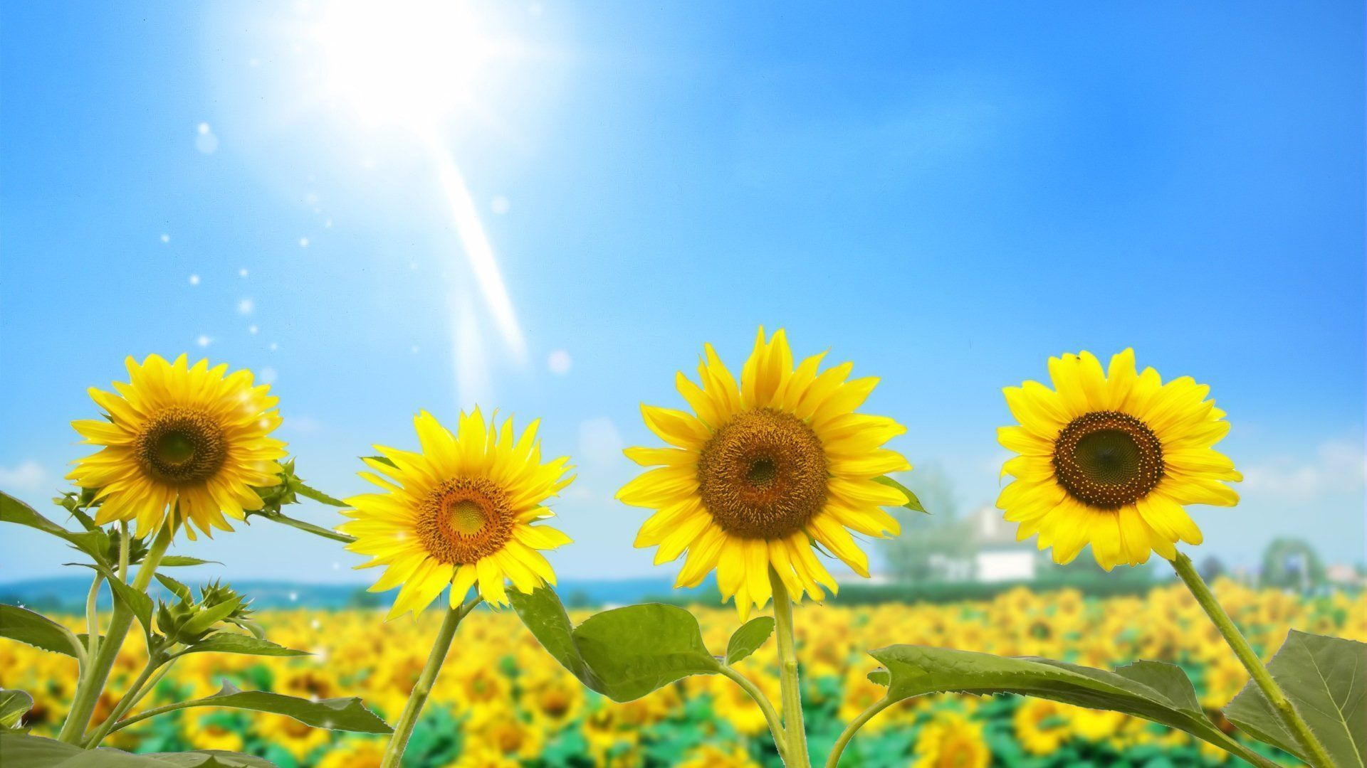 Sunflower Wallpaper Android Apps on Google Play   HD ...