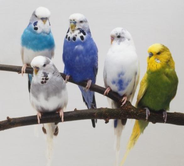 طائر البادجي اجمل الطيور فى العالم Pet Birds Parakeet Animals