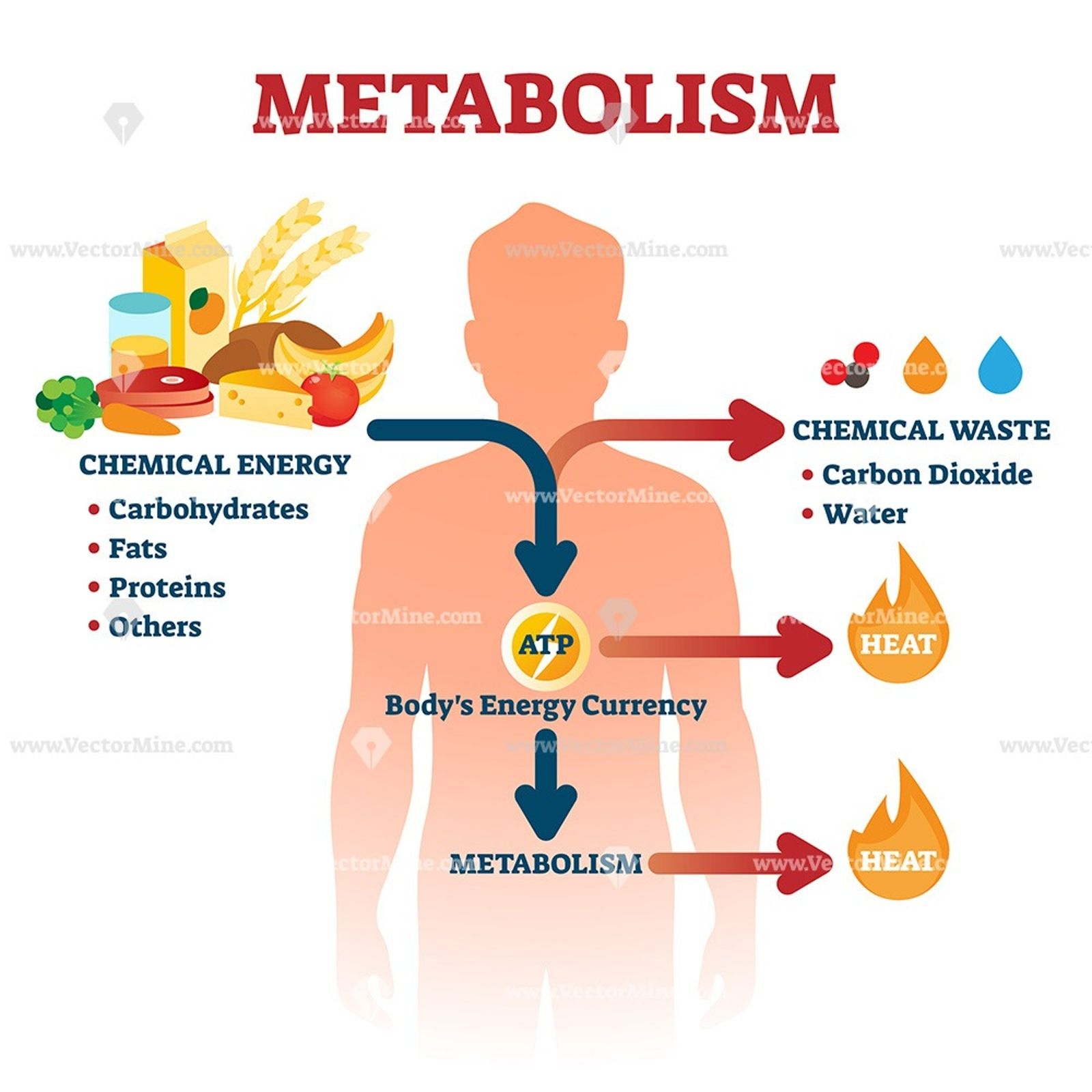 Metabolism Vector Illustration Chemical Energy Metabolism Atp Biology [ 1600 x 1600 Pixel ]
