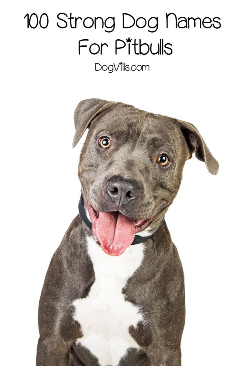 100 Strong Dog Names For Pitbulls Dogvills In 2020 Strong Dog Names Dog Names Pitbulls