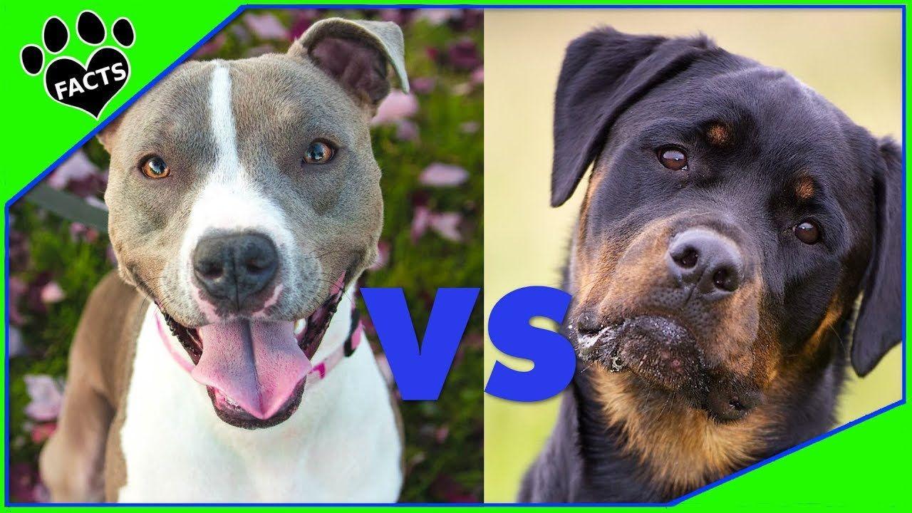 Rottweiler Vs American Pitbull Terrier Dog Vs Dog Animal Facts