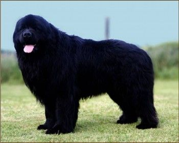 Newfoundland E Top Biggest Dog Breeds In The World - 10 of the worlds biggest pets