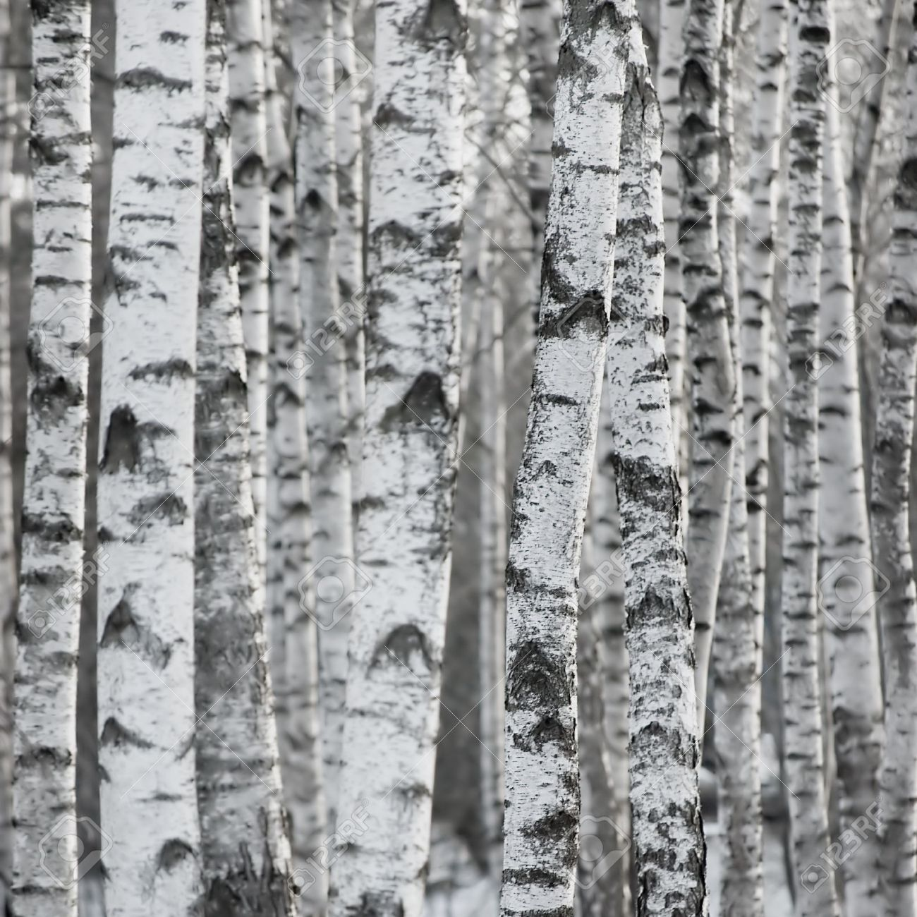 white bark birch tree google search starbucks pinterest birch