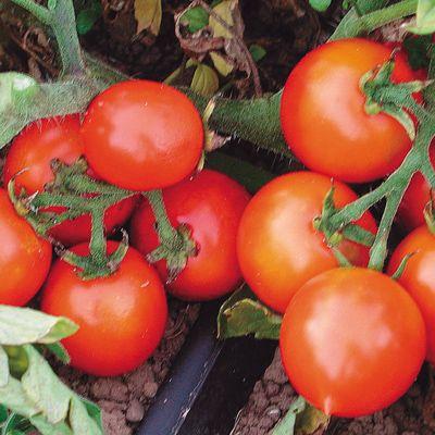 Early Cherry Tomato Organic Cherry Tomato Plant Tomato 400 x 300