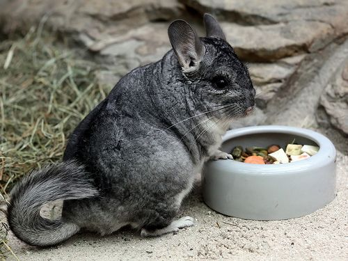 chinchilla trapu