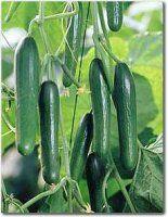 teelt tips voor komkommer - via http://bit.ly/epinner