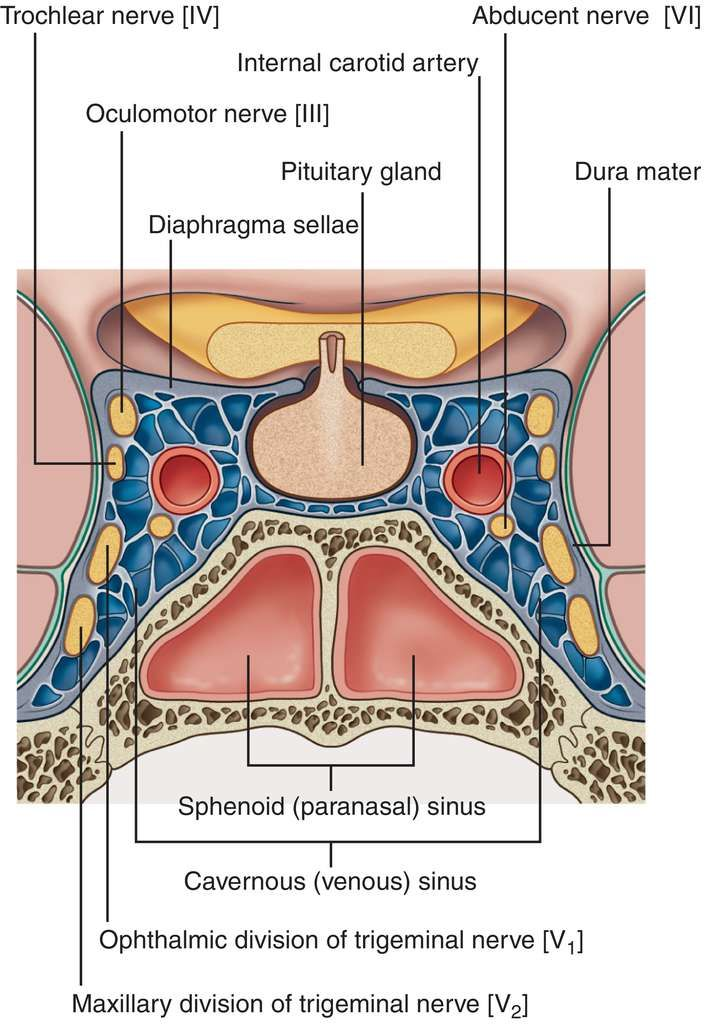 The Cavernous Sinus Is The Blue Part In Real Life They Apparently