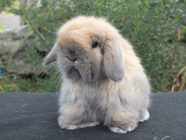 10 Mini Lop Bunnies For Sale Hillsboro Or Lop Bunnies Mini Lop