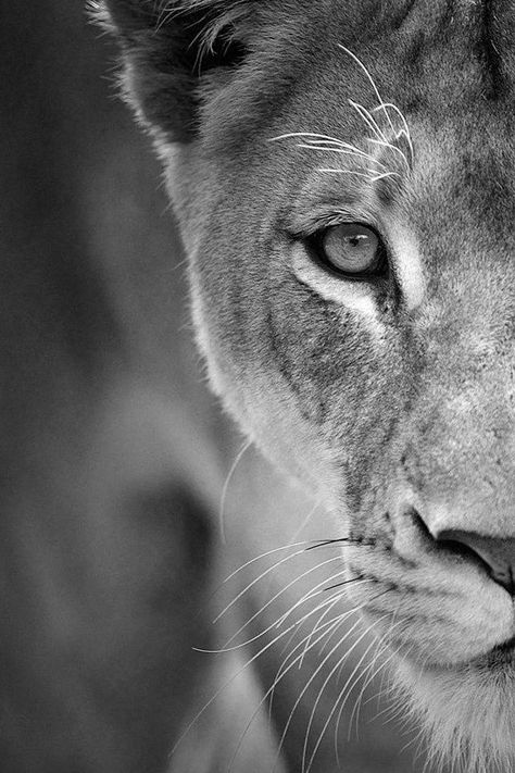 Tattoo Lion Lioness Awesome 32 Super Ideas Lion Eyes Animals Beautiful Animals