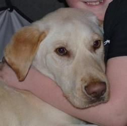 Adopt Toby On Labrador Retriever Toby Is A Labrador Retriever Dog