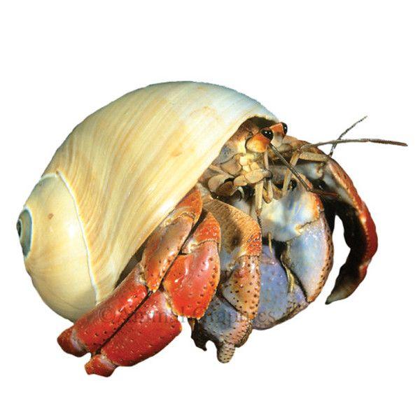 Fancy hermit crab live fish petsmart katie 39 s for Petsmart live fish