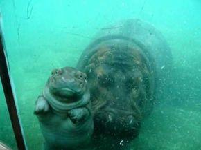 Cute Baby Hippo at San Diego Zoo #babyhippo