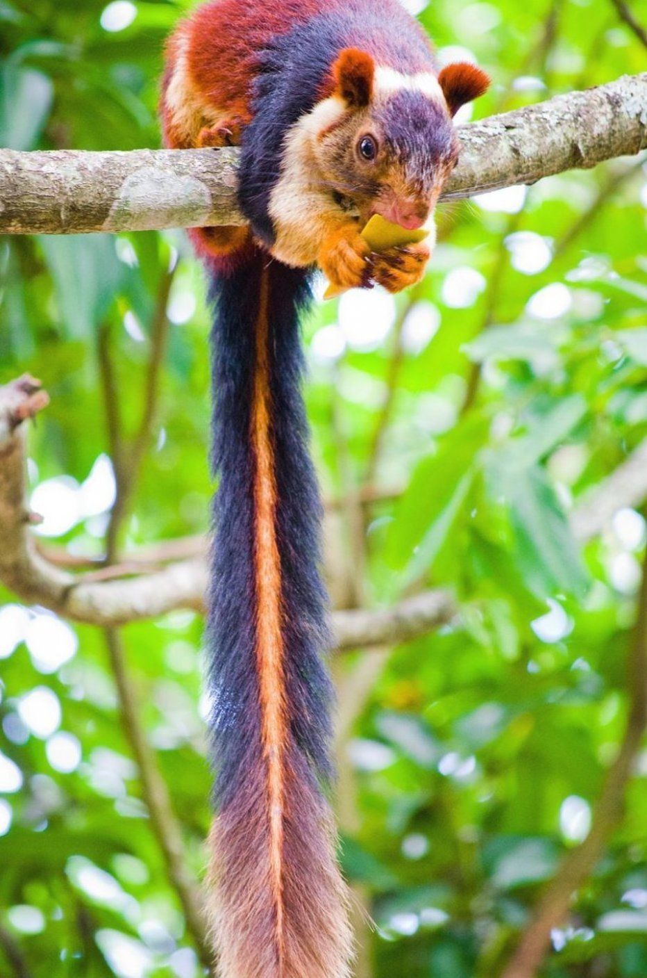 India is home to a colorful and large squirrel species