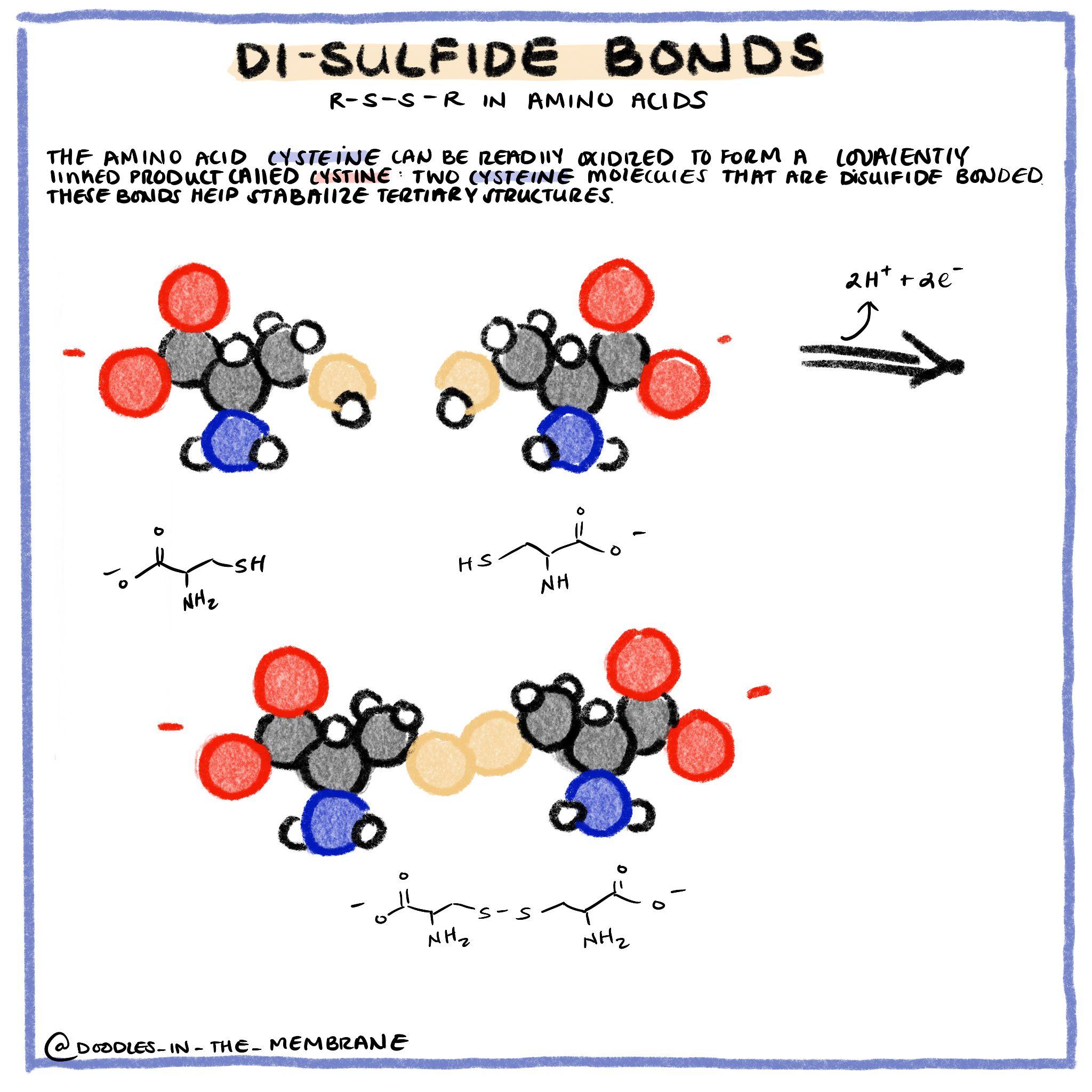 Biochemistry Infographic Disulfide Bonding In