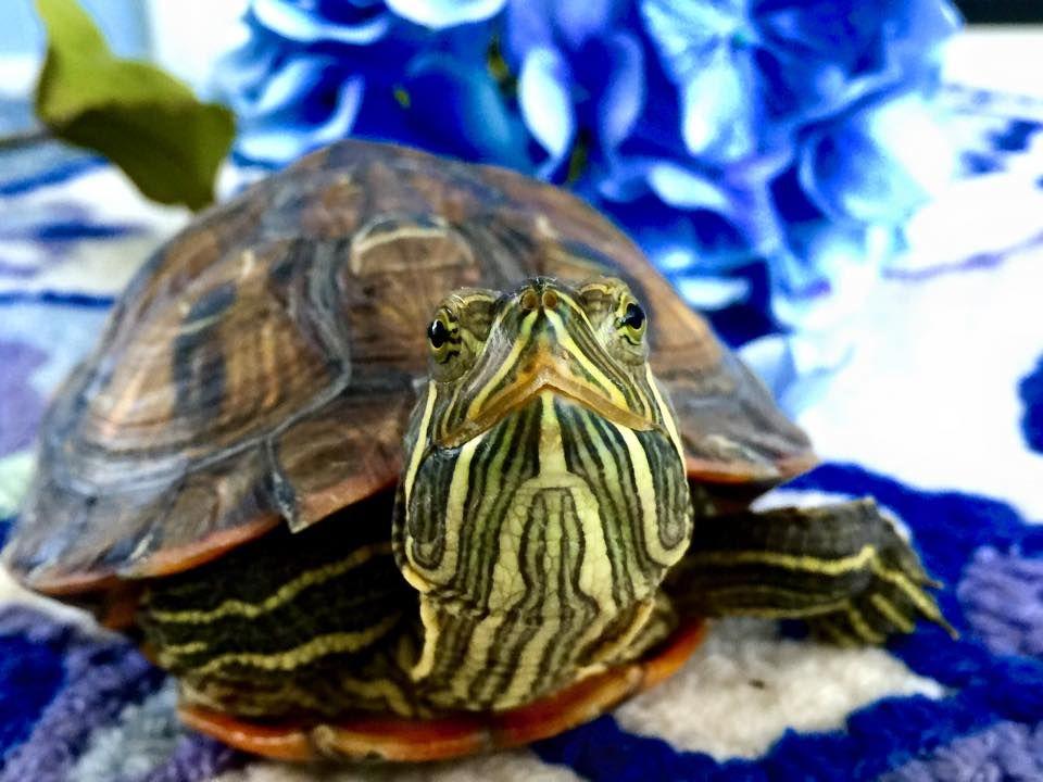 Red Eared Slider. Mortimer the turtle. Red eared slider