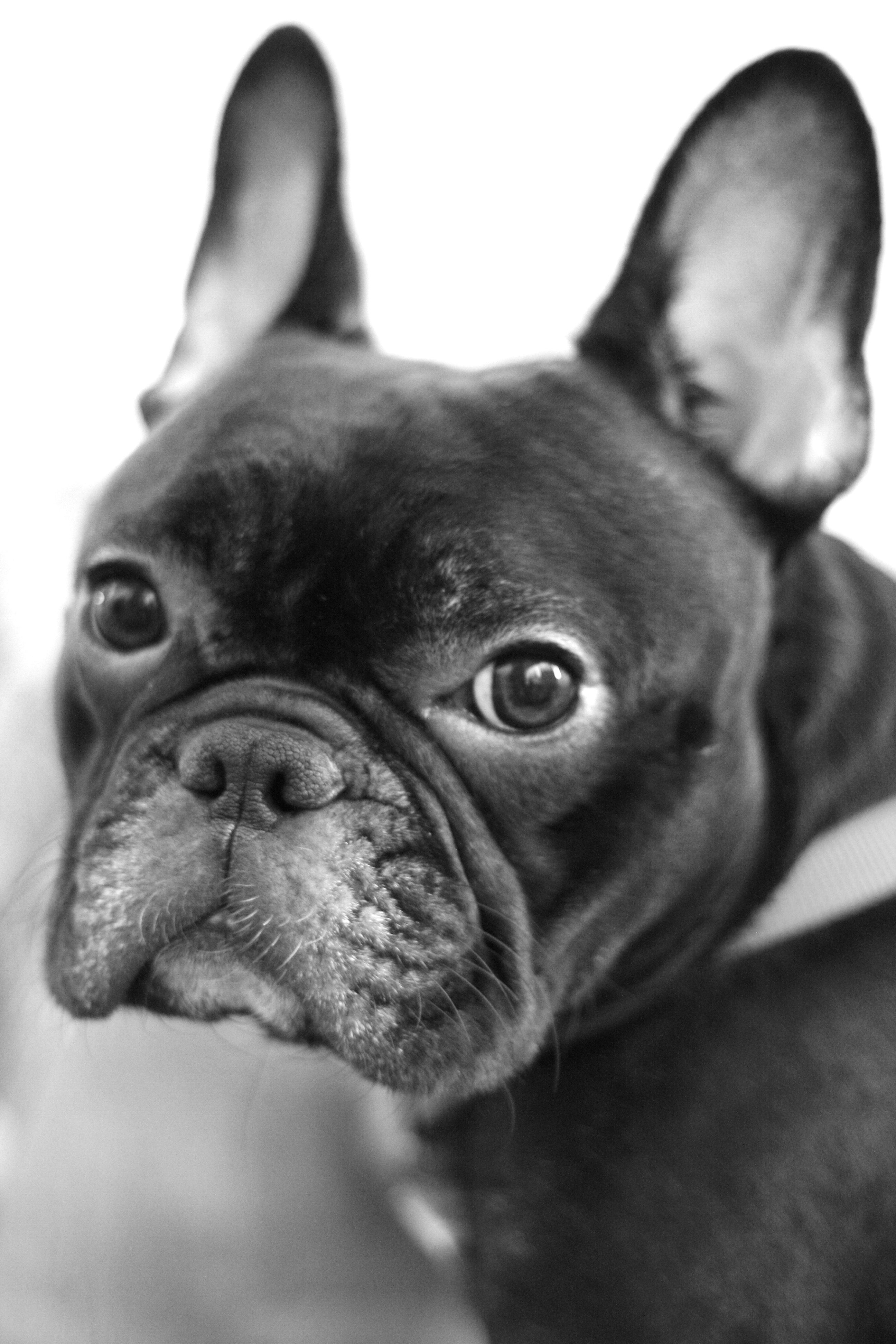 French French Bulldog Animals Bulldog
