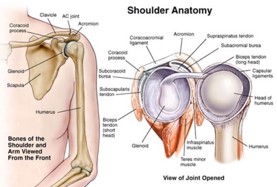 Colorful Glenoid Labrum Anatomy Mold - Anatomy Ideas - yunoki.info