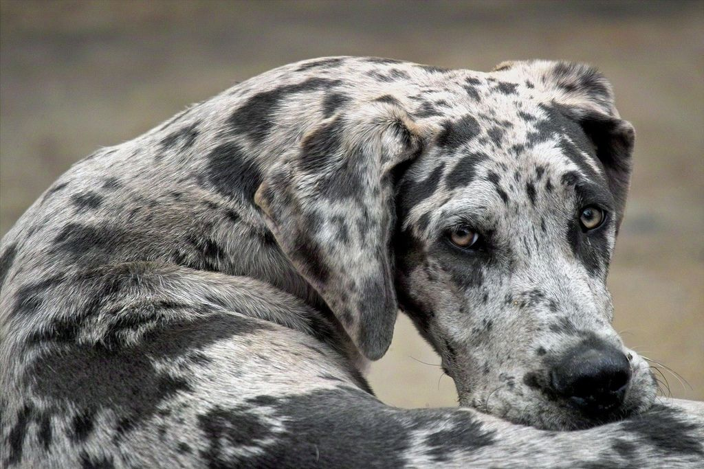 The Top Ten Laziest Dog Breeds Lazy Dog Breeds Great Dane Dogs