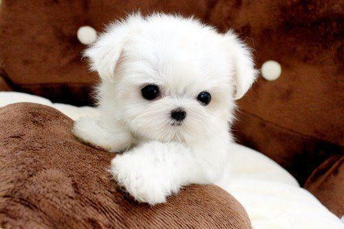 Cute White Fluffy Puppy Doggies Pinterest Cute Puppies