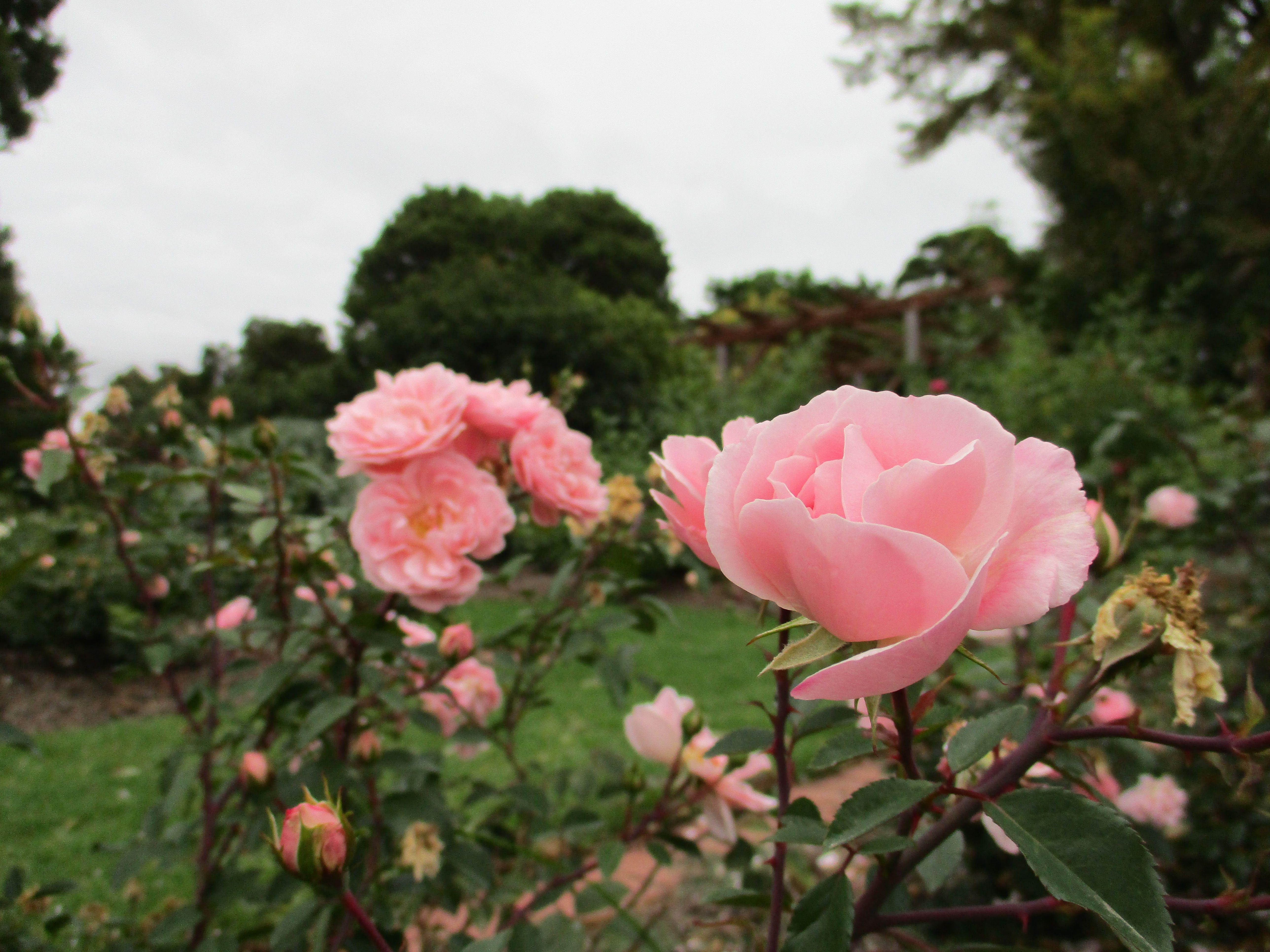 Petals In The Rose Garden \u2013