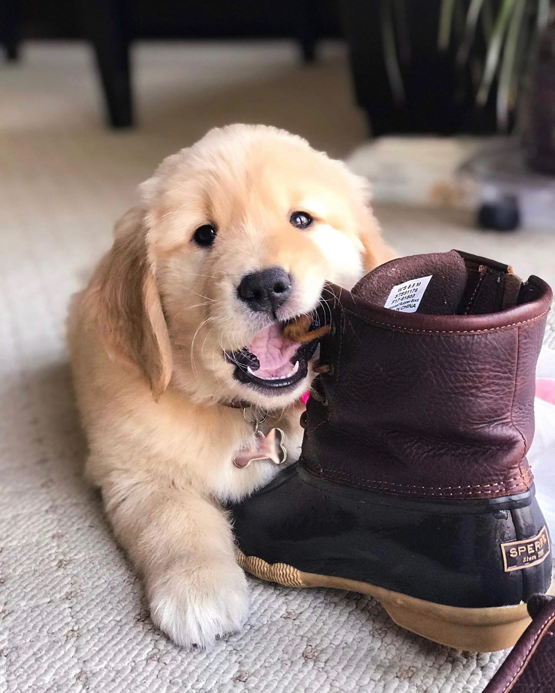 Lila Cute Cats And Dogs Golden Retriever Cute Animals