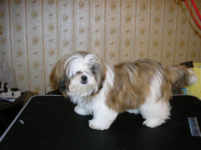 Dog Obedience Training Shih Tzu Puppy Training Tips M5x Eu