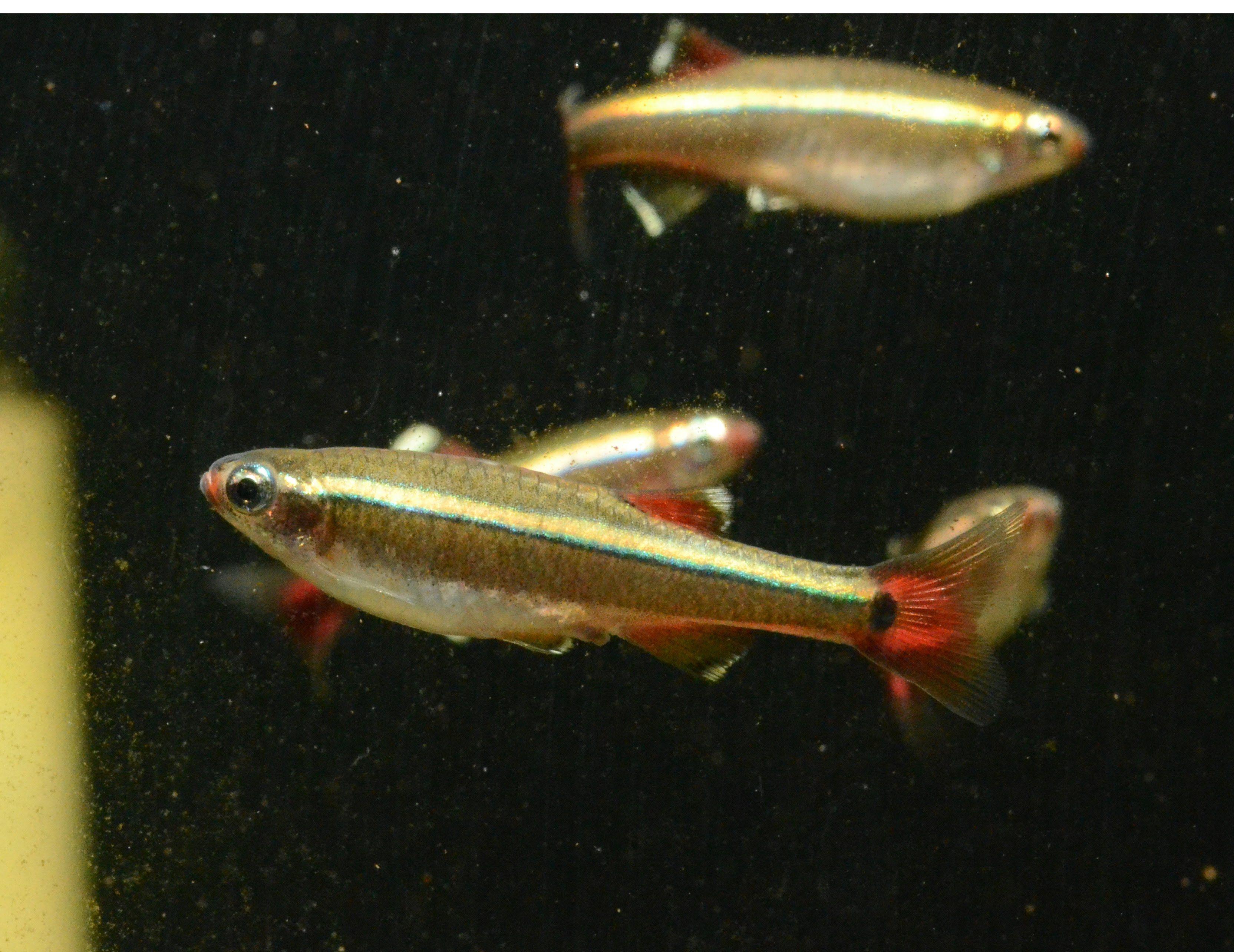 White Cloud Mountain Minnow Tanichthys Albonubes Species Spotlight Fish Pet Tropical Fish Species