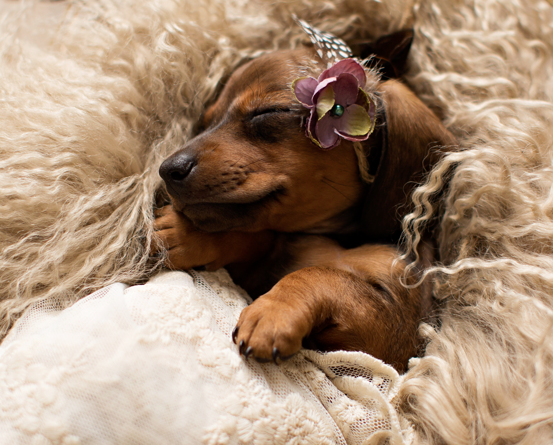 Dachshund puppies are the best! Dachshund puppies