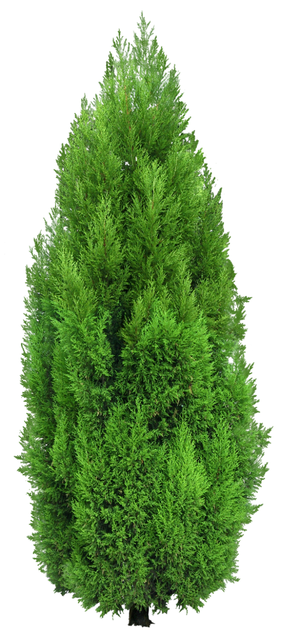 Cypress Tree Png Clipart Tree Photoshop Cypress Trees Trees To Plant