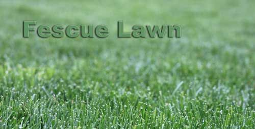 Fescue Lawn Images Up Close And From A Distance Fescue Lawn Fescue Lawn