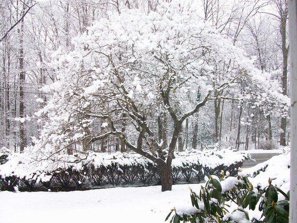 Dogwood Tree In Winter Dogwood Trees Winter Trees Sakura Tree