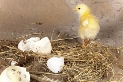 hatched baby chicken (With images)   Baby chickens, Hatch baby