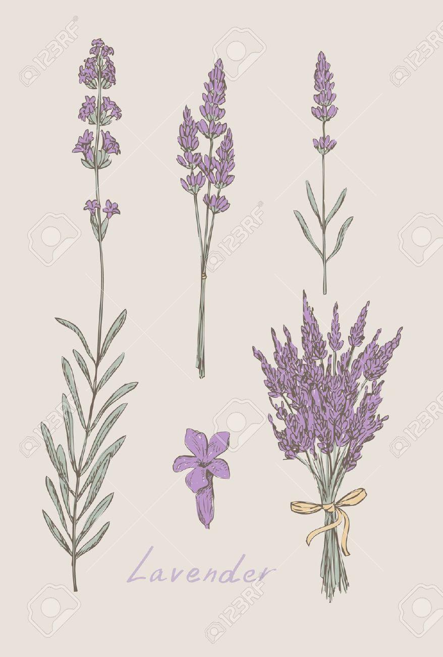 Line Drawing Lavender : Lavender sprig drawing imgkid the image kid