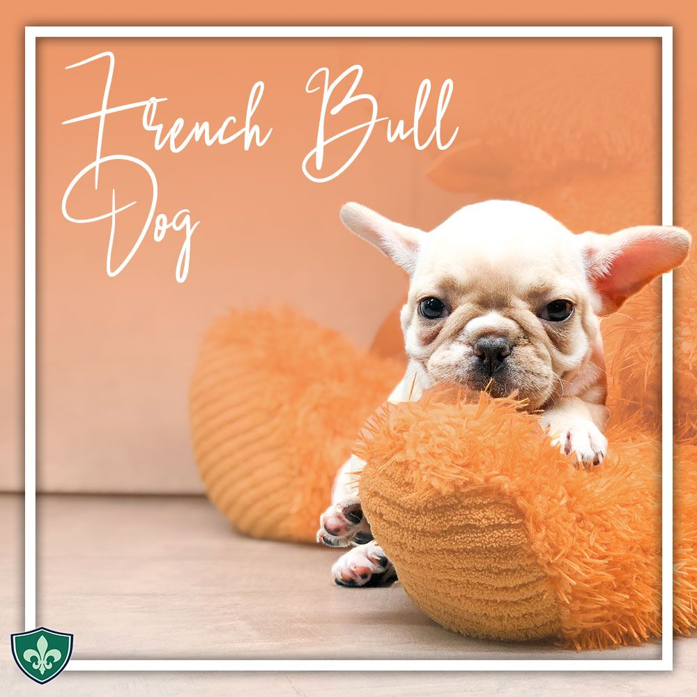 The French Bulldog Frenchie Is Admired For Its Appearance And Intelligence It Has Great Watching Skills French Bulldog Bulldog Puppies Dog Club
