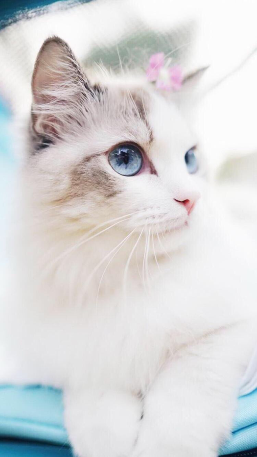 White Kitten Wallpaper For IPhone And Smartphone