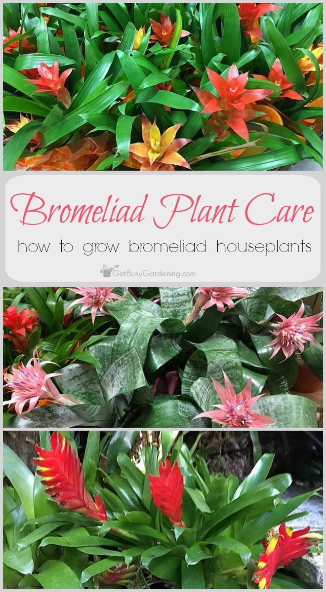 Bromeliads Are Unique Tropical Beauties That Make Great House Plants Bromeliad Plant Care Isn T Difficult But Is A Bit Differe Plants Bromeliads House Plants