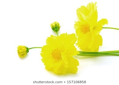 Beautiful yellow flower, Cosmos, isolated on a white background #arrangement, #asteraceae, #background, #beauty, #bloom, #blooming, #blossom, #bouquet, #bright, #bunch, #closeup, #colorful, #cosmos, #cutout, #decorative, #design, #floral, #florescence, #flowers, #garden, #isolated, #macro, #nature, #objects, #petal, #plant, #romance, #romantic, #summer, #white, #yellow