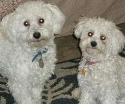 Looks like Candy & Cookie, before grooming time...