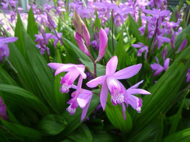 花粹����_シラン(紫蘭)の群生♪:富士男♪だより シラン、植物、花の